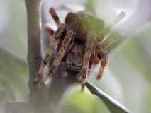 Gömd spindelmakro Fotografering för Bildbyråer