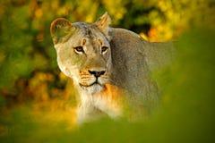 Gömd stående av lejonkvinnlign Afrikanskt lejon, Panthera leo, detaljstående av det stora djuret, aftonsol, Chobe nationalpark, B Royaltyfri Fotografi