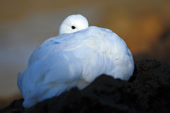 gömd stående Vit fågel i det gröna gräset Gås i gräset Lös vit höglandgås, Chloephaga picta, i naturvanan Fotografering för Bildbyråer