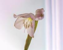 Gömma i handflatan blomningen Royaltyfria Bilder