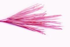 Gömma i handflatan den rosa torra filialen isolerat gult tropiskt för vit bakgrund gräs- plast- lilor för gräsogräs royaltyfri fotografi