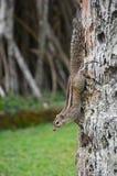 Gömma i handflatan ekorren (den Funambulus palmarumen) på stammen av palmträdet Wadduwa Sri Lanka Arkivfoto