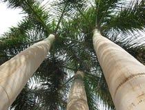 gömma i handflatan högväxt trees Arkivbilder