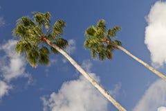 gömma i handflatan högväxt trees Arkivbild