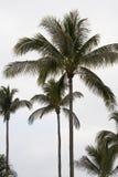 gömma i handflatan högväxt trees Royaltyfri Fotografi