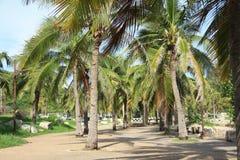 Gömma i handflatan kokospalmen Fotografering för Bildbyråer