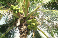 Gömma i handflatan kokospalmen Arkivbilder