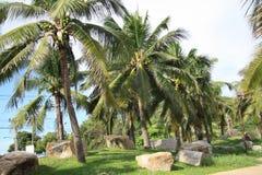 Gömma i handflatan kokospalmen Royaltyfri Foto