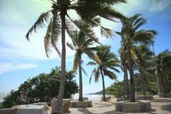 Gömma i handflatan kokospalmen Royaltyfria Bilder
