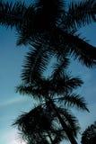 Gömma i handflatan kokospalmen i sihouette mot den blåa himlen royaltyfri foto
