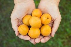 Gömma i handflatan nya skördade aprikors för kvinnahåll i henne Arkivbild