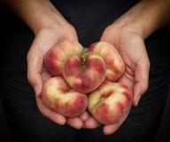 Gömma i handflatan nya skördade plana persikor för kvinnahåll i henne Royaltyfria Foton