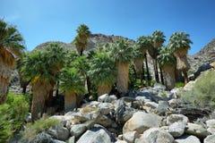 49 gömma i handflatan oasen i Joshua Tree National Park Arkivfoton