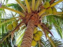 Gömma i handflatan och kokosnötfrukt Arkivfoto