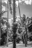 Gömma i handflatan och kokospalmen på trädgården i det svarta vita funktionslägefotoet som tas i Kebun Raya Bogor Indonesia Arkivfoto