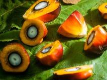 Gömma i handflatan olje- frukter Arkivbild