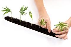 gömma i handflatan plantera groddar Arkivbilder