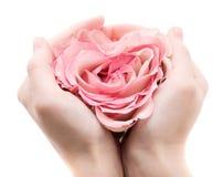 gömma i handflatan rose Royaltyfri Foto