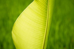Gömma i handflatan tjänstledigheter i en ricefield Royaltyfri Bild