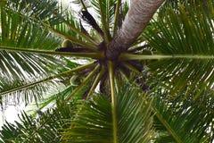 Gömma i handflatan trädet, kokosnöten, tropiskt som är grön, himmel, sidor, stranden, naturen, bladet, växten, blått, palmträdet  royaltyfri foto
