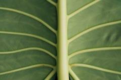Gömma i handflatan tropisk grön lövverk för textur Tropiska sidor för grön bakgrund Royaltyfria Foton