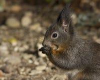 Gömma sig att söka efter föda i trädgården som äter en mutter Arkivfoton