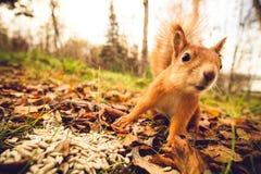 Gömma sig för husdjurhösten för röd päls den roliga skogen på bakgrund Royaltyfria Foton