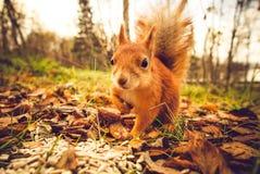 Gömma sig för husdjurhösten för röd päls den roliga skogen på bakgrund Arkivfoto