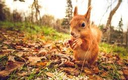 Gömma sig för husdjurhösten för röd päls den roliga skogen på bakgrund Royaltyfri Bild