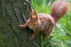 Gömma sig på treen Arkivfoton