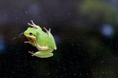 Gömma sig Treefrog (Hylasquirella) på exponeringsglas Royaltyfri Bild