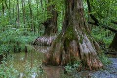 Gömställeflodvåtmarker, stort cypresstillträde, sydliga Illinois, USA fotografering för bildbyråer