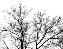 Gör bar filialer av ett träd på en vit bakgrund arkivbilder