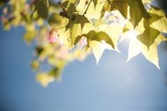 Gör suddig ganska lönnlöv på träd med mjuk solljusbehide på b Royaltyfria Foton
