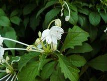 Göra-Beträffande-Mi för vit blomma växt Royaltyfri Foto