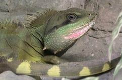Göra grön ödlan Royaltyfri Fotografi