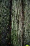 Göra grön cloloured Treetrunk av en första tillväxt Douglas Fir arkivbild
