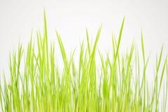 Göra grön den första skördcloseupen Royaltyfri Bild