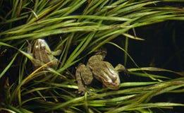Göra grön grodor Arkivfoto
