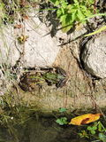 Göra grön grodor Fotografering för Bildbyråer
