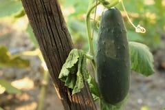 Göra grön gurkan Fotografering för Bildbyråer