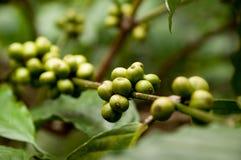 Göra grön kaffebönor Fotografering för Bildbyråer