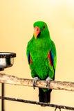 Göra grön macawpapegojan på perch Royaltyfri Foto