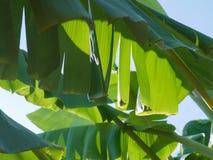 Göra grön och gulna bladet av bananträdet med skuggasolljus i nat Royaltyfri Foto