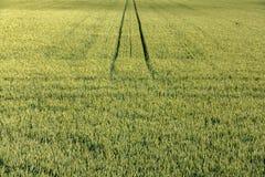 Göra grön och gulna eftermiddagen för sen sommar för cornfielden, perspektiv med vertikala linjer Royaltyfri Foto