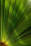 Göra grön och gulna färglinjen sidor av palmträdet för bakgrund eller modell Royaltyfri Fotografi