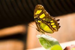 Göra grön och gulna fjärilen som vilar på ett blad fotografering för bildbyråer