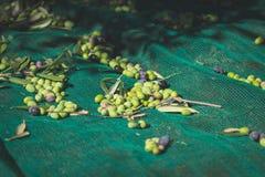Göra grön och svärta nya oliv på det netto Plockning i den Liguria, Italien, Taggiasca eller Caitellier cultivaren tonad bild Royaltyfri Fotografi