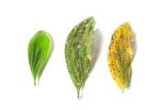 Göra grön och torka bladet mycket av hål på vit bakgrund royaltyfri foto