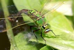 Göra grön sländan royaltyfria foton